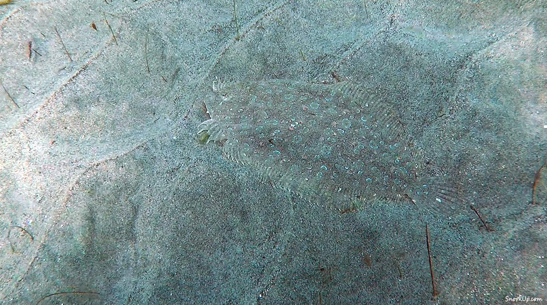 Пятнистый ботус (лат.Bothus pantherinus, анг.Leopard flounder)